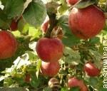 Apfelbaum - Bild: CleanKids