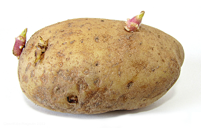 potato_with_sprouts_small