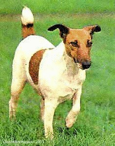 Old_English_Terrier