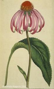 Echinacea kann beispielsweise immunsuppressive Therapien abschwächen