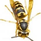 wasp_huge