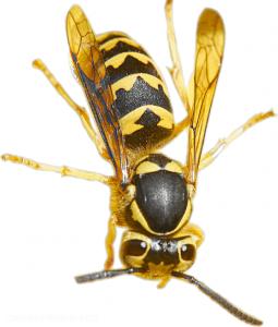 Schnelle Hilfe bei Wespenstichen