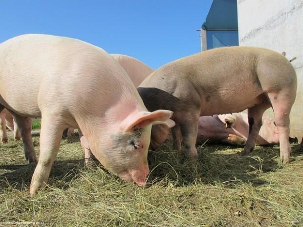 pigs-214350_640