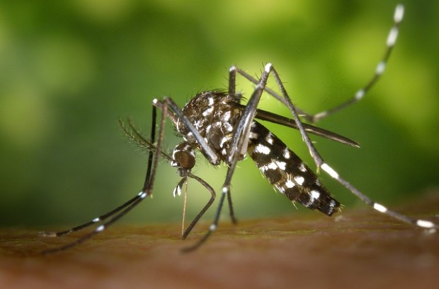 tiger-mosquito-49141_640