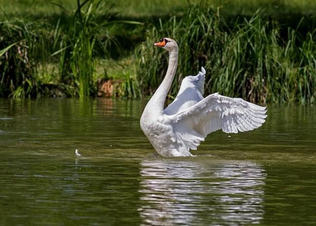 swan-359931_640