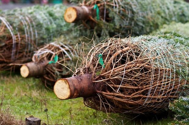 BUND-Test: Mehr als jeder zweite Weihnachtsbaum mit Pestiziden belastet