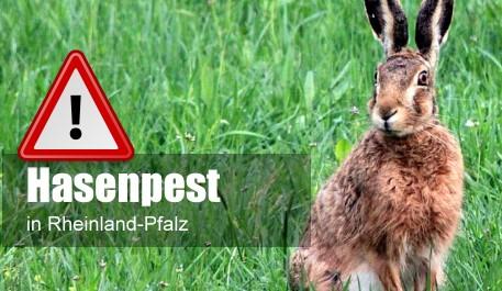 Hasenpest in Rheinland-Pfalz festgestellt: Kontakt mit auffälligen Tieren meiden