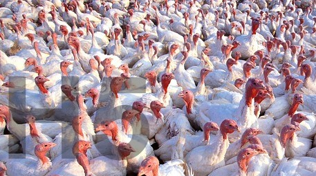 Vogelgrippe