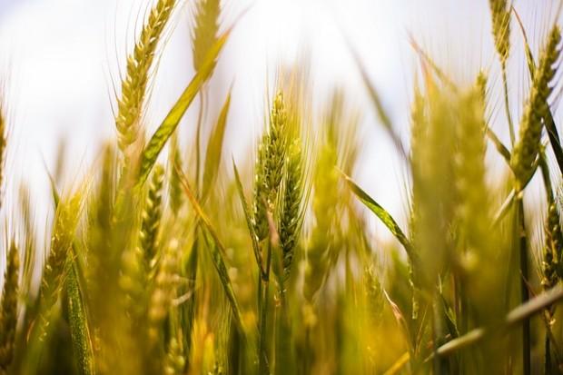 Verflixter Weizen - wenn FODMAPs Beschwerden auslösen