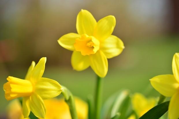 Giftige Frühlingsboten: Osterglocken für Kinder gefährlich