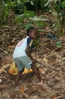 Kind hilft auf der Farm der Eltern bei der Ernte, Ghana © Schröder/ Südwind