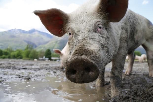 Greenpeace-Test: Schweinefleisch mit antibiotikaresistenten Keimen belastet