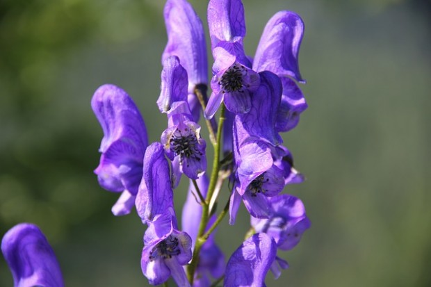 monkshood-282991_640
