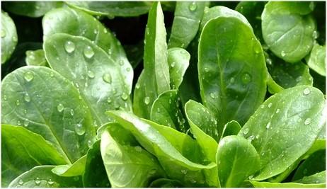Schadstoffe in Salaten: Nitrat in Feldsalat und Rucola