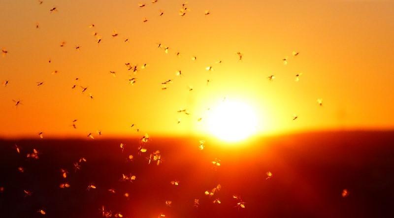 Mückenarten: Kriebelmücken & Co.
