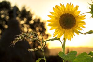 Die Sonnenblume - Innerhalb weniger Wochen erreicht sie eine imposante Größe